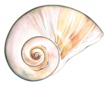 Northern Moon Snail