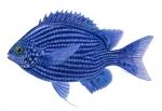 Deep Blue Chromis